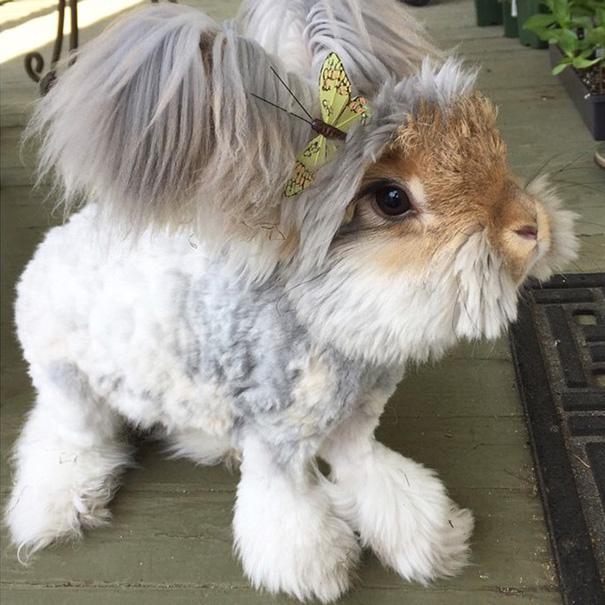 Wally, il coniglio d'angora con le orecchie che sembrano ali d'angelo03
