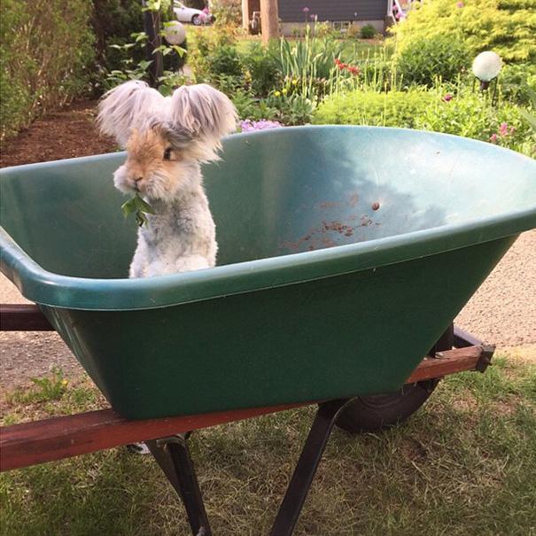 Wally, il coniglio d'angora con le orecchie che sembrano ali d'angelo02