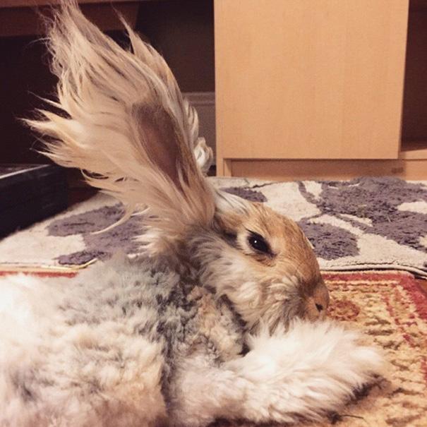 Wally, il coniglio d'angora con le orecchie che sembrano ali d'angelo04