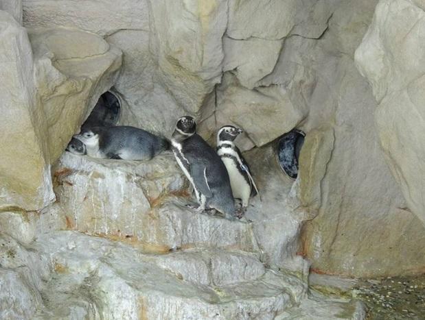 Genova, è festa all'Acquario nati due rari pinguini gemelli 3