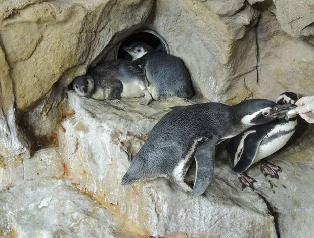 Genova, è festa all'Acquario nati due rari pinguini gemelli 1