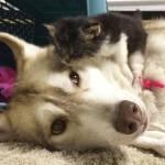 Rosie, la gattina da tre mesi che si crede un Husky