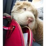 Tonkey, il cucciolo di Shar Pei che ha 100mila follower su Instagram FOTO8