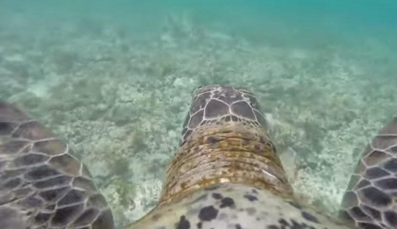 Australia, GoPro su tartaruga per studiare l'inquinamento Barriera Corallina