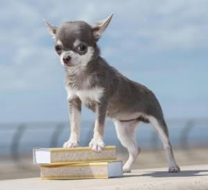 Bibity Bobity Boo è il cane più piccolo del mondo 2