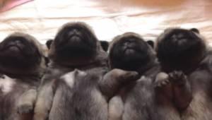 Cuccioli di cane dormono fianco a fianco. VIDEO diventa virale