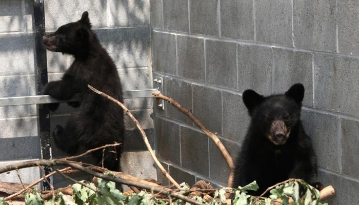 Canada, Guardia forestale non uccide i due orsetti: sospesa e senza paga FOTO2