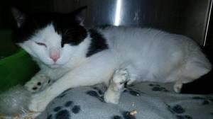 Pauly, il gatto nato con sei zampe verrà operato per poter camminare3