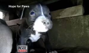 Los Angeles: Sansa, mamma pitbull e i suoi 7 cuccioli cercano casa VIDEO
