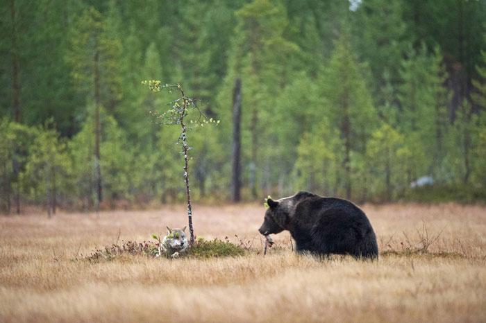 Orso e lupo amici le sorprendenti FOTO dalla Finlandia10