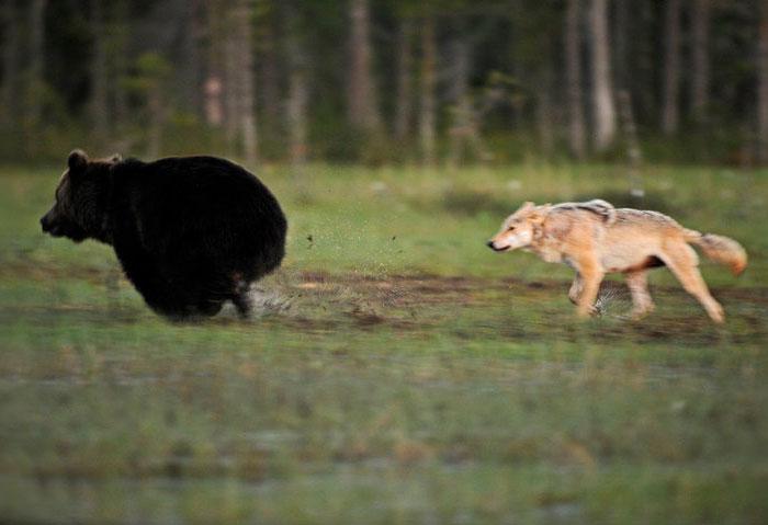 Orso e lupo amici le sorprendenti FOTO dalla Finlandia