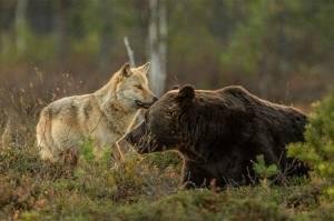 Orso e lupo amici le sorprendenti FOTO dalla Finlandia9