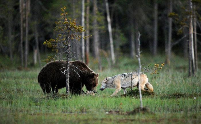 Orso e lupo amici le sorprendenti FOTO dalla Finlandia8