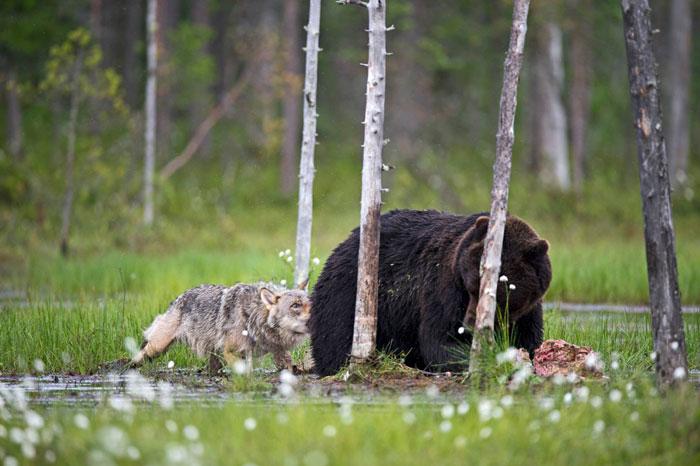 Orso e lupo amici le sorprendenti FOTO dalla Finlandia7