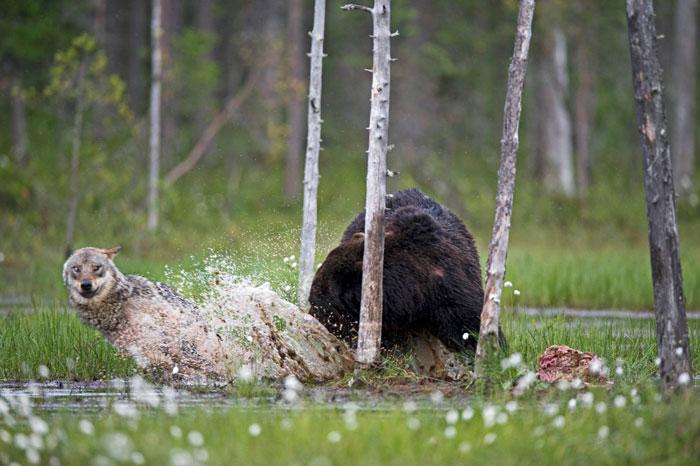 Orso e lupo amici le sorprendenti FOTO dalla Finlandia6
