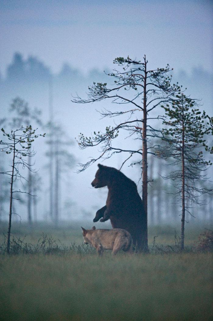 Orso e lupo amici le sorprendenti FOTO dalla Finlandia5