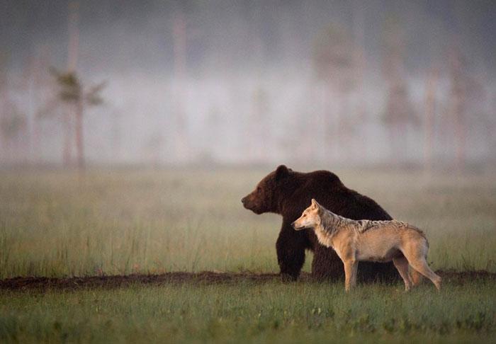 Orso e lupo amici le sorprendenti FOTO dalla Finlandia4