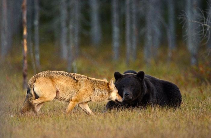 Orso e lupo amici le sorprendenti FOTO dalla Finlandia3
