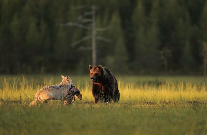 Orso e lupo amici le sorprendenti FOTO dalla Finlandia2