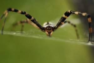 """Veleno del ragno come """"Viagra"""": stimola erezione"""