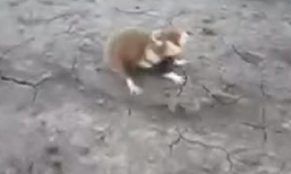 Criceto pazzo salta e morde qualsiasi cosa VIDEO