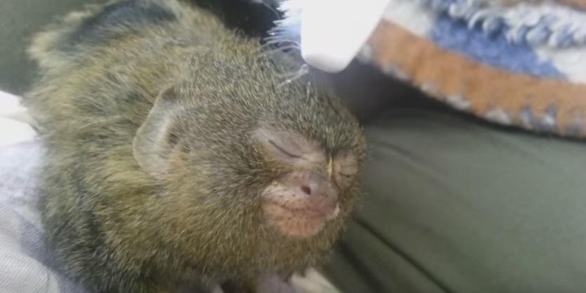 Ninita, il massaggio alla scimmia più piccola del mondo VIDEO