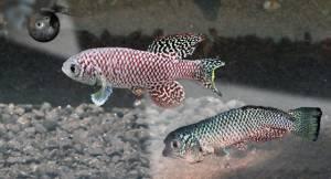 n piccolo vertebrato, un pesciolino del Mozambico che ha gli stessi geni che portano le persone alla vecchiaia è in grado, infatti, di bloccare lo sviluppo genetico embrionale