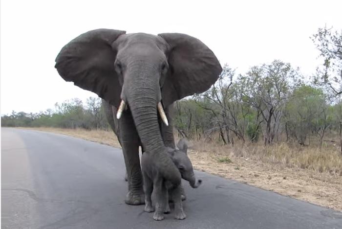 Mamma elefante difende il cucciolo dai paparazzi