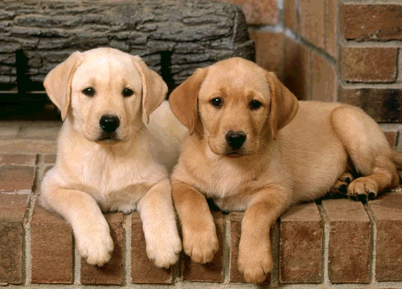 Cani: babesiosi o piroplasmosi, sintomi e cura della malattia