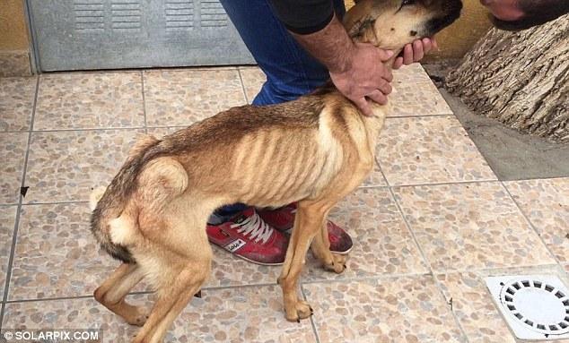Barilla, il cane talmente magro che sembra uno spaghetto