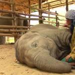 Ninna nanna custode, elefante crolla e dorme come un bimbo4