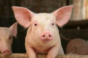 Creare organi umani nel corpo dei maiali: ultimo studio Usa