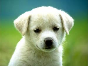 """Cani, vaccino sotto accusa: """"Può causare complicazioni letali"""""""
