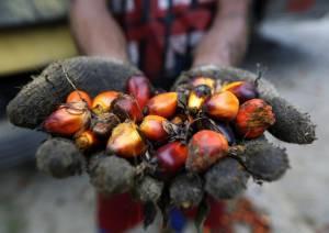 Olio di palma caratteristiche – Cos'è e come si ottiene