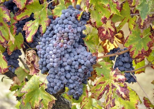 Dieta ricca di uva previene Alzheimer. E non solo