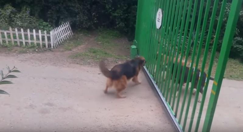Cani arrabbiatissimi divisi da un cancello: quando si apre accade questo VIDEO