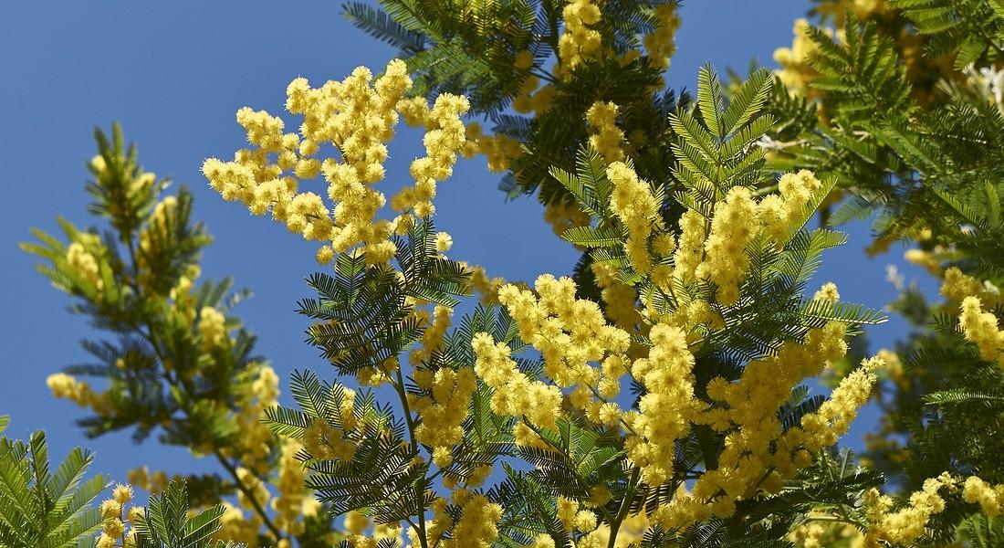 8 marzo, festa della donna: perché si regalano mimose?