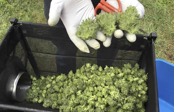 """Cannabis light venduta nei Canapa Shop: """"Non è esclusa la pericolosità"""""""