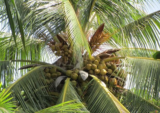 Olio di cocco alleato di bellezza: gli effetti su pelle e capelli