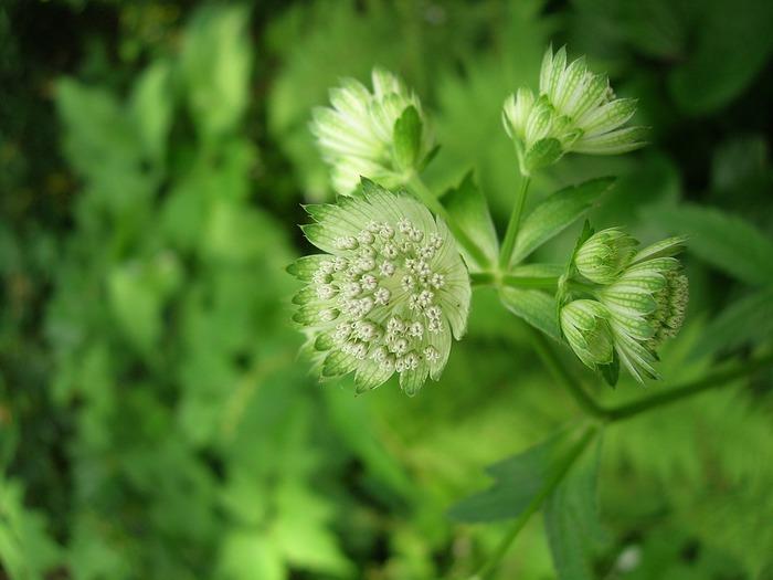 Angelica keiskei, la pianta che previene infezioni e pressione alta