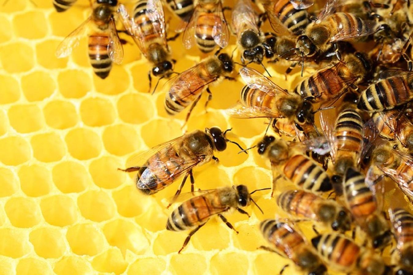 Tumore al seno, veleno delle api può uccidere cellule cancerose